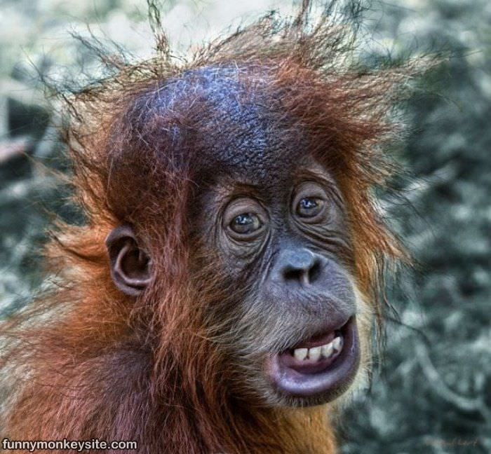 Funny Monkey Bad Hair Day