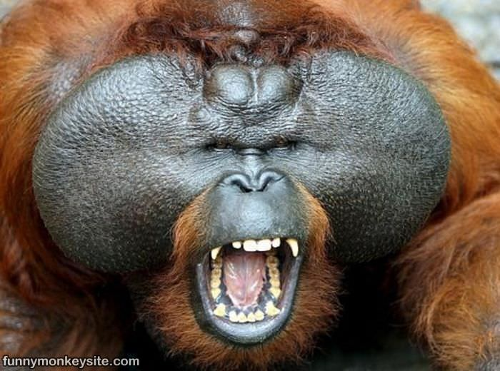 Hilarious Monkey Face : This picture was posted 7/18/2011, it has ...