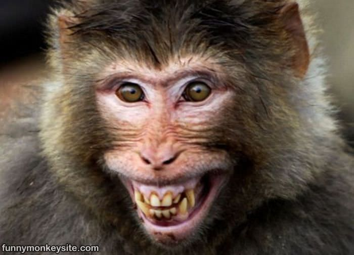 Monkey Smiling : This picture was posted 8/21/2011, it has 9,487 views ...: www.funnymonkeysite.com/pictures/Monkey_Smiling.htm