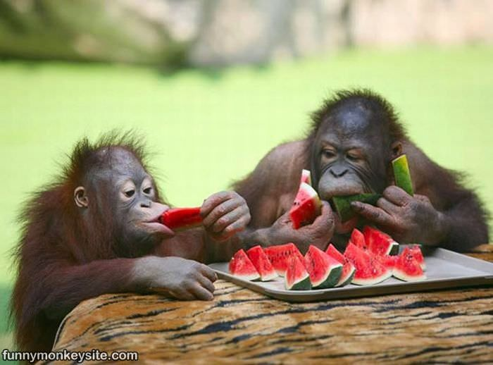 Watermelon Monkeys